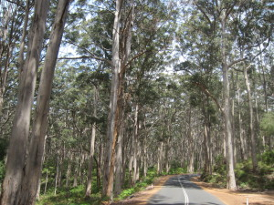 Boranup Forest 1