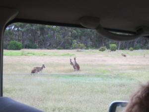 kangaroos 2